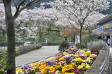 津久井湖周辺の桜 #4