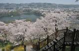 津久井湖周辺の桜 #2