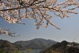 宮ヶ瀬湖桜の季節 #3