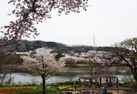 津久井桜の季節#11