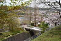 津久井桜の季節#13