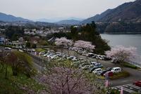 津久井桜の季節#14