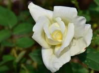 相模原北公園のバラ#8