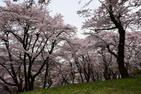 津久井桜の季節#8