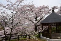津久井桜の季節#12