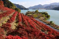 宮ヶ瀬湖鳥居原の紅葉#3