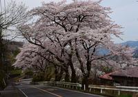 津久井桜の季節#5