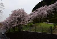 津久井桜の季節#4