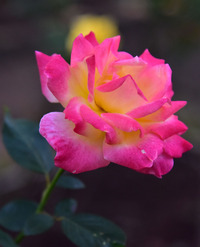 相模原北公園のバラ#4