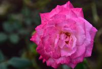 相模原北公園のバラ#5