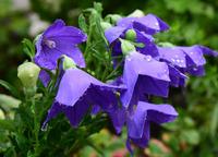 小雨の庭先#4