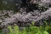 千鳥ヶ淵・靖国神社#2