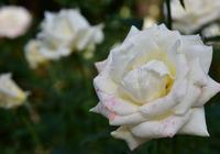 相模原北公園のバラ#1