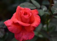 相模原北公園のバラ#2