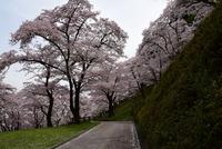 津久井桜の季節#7