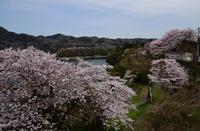 津久井桜の季節#9