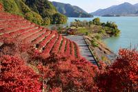 宮ヶ瀬湖鳥居原の紅葉#4