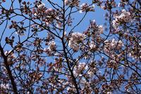 相模原市民桜まつり#3
