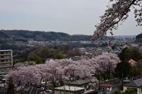 津久井桜の季節#6