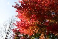 宮ヶ瀬湖鳥居原の紅葉#7