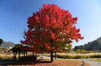 宮ヶ瀬湖畔園地の紅葉#4