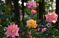 相模原北公園のバラ#9
