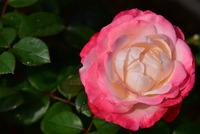 相模原北公園のバラ#6