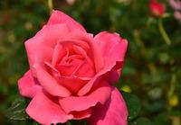 相模原北公園のバラ#7