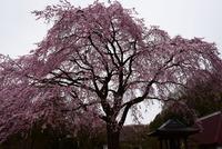 津久井桜の季節#2