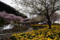 津久井桜の季節#1