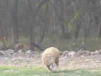 チェンマイ羊