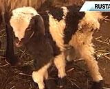 Six-Legged-Lamb