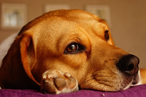 dog-1264667__340