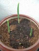 ニンニクの芽(4つ)