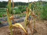 ジャンボニンニク収穫直前