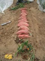 サツマイモ収穫後