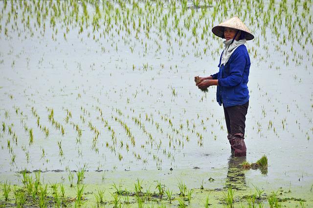 800px-Paddy_field_in_Vietnam_with_farmer