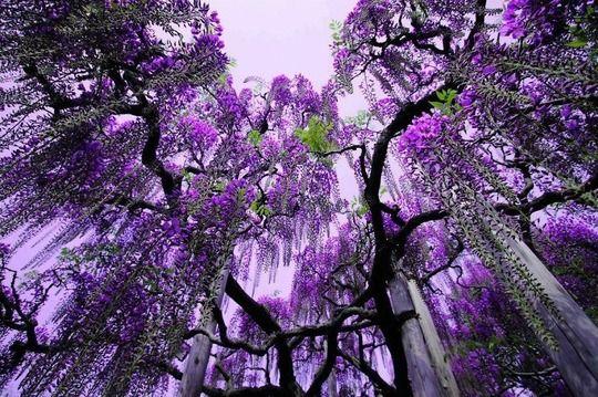 韓国人「日本の美しい藤の景色をご覧ください」→「このくらいなら芸術の域だね・・・」