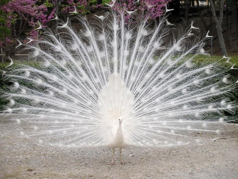 White-Peacock-wild-animals-2688069-1024-768