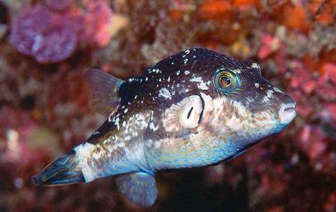 Canthigaster-rivulata