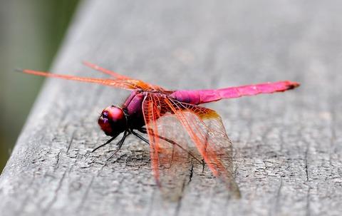 crimson-marsh-glider