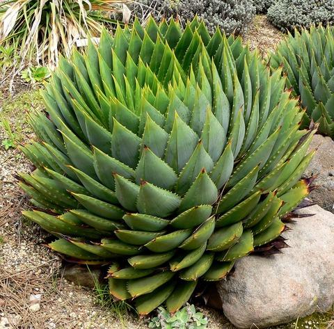 Aloe_polyphylla_2