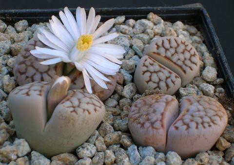 lithops-julii-ssp_-julii-reticula-