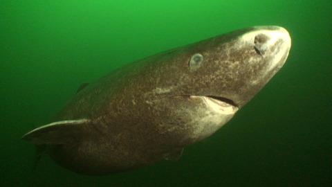28-greenland-sharks-blueworldtv-1wi2udr
