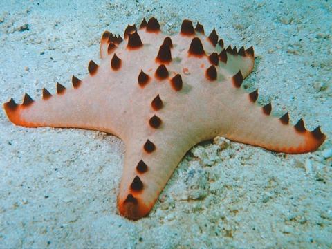 Horned_starfish-_chocolate_chip_Wallpaper_6u62r