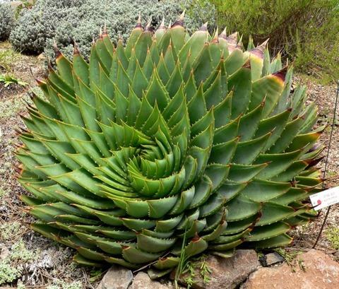 704px-Aloe_polyphylla_1