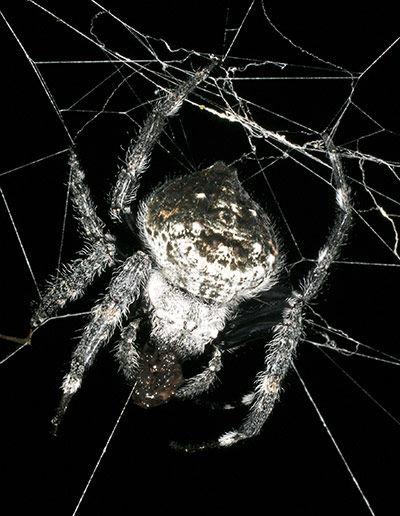 Darwins-Bark-Spider-001