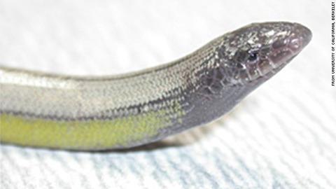 legless-lizard-02-story-top