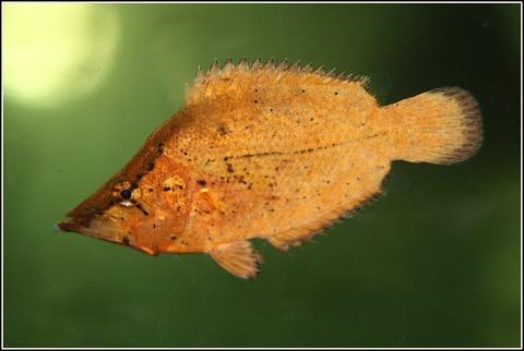 monocirrhus_polyacanthus