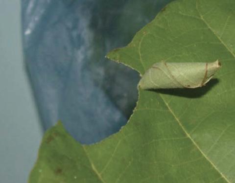 Calindoea-trifascialis-caterpillar